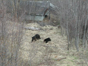 Black bear sow and cub in yard